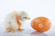 Newborn baby chicken with orange egg