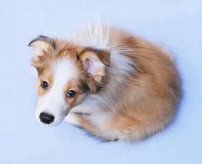 Sable color border collie puppy on the blue background