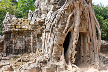 Jungle tree covering a temple in Angkor, Cambodia