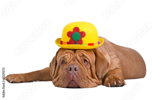 Dog wearing stylish yellow bowler (derby) hat