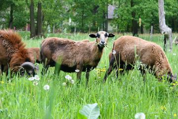 Schafe im Spreewald