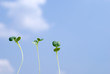 並んだ新芽と青空