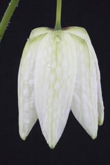 fritllaria meleagris or snake's head fritillaria