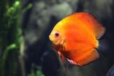 Orange Tropical Fish In Saltwater Tank poster