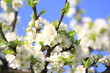 Blühender Obstbaum im Frühling
