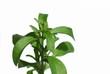 Stevia Süßkraut  Heilpflanze Freisteller