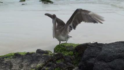 pelican and the fish. Galapagos