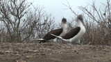 Dance of blue footed booby, Galapagos