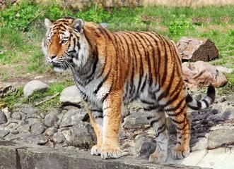 Siberian tiger in Vienna zoo