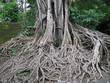 roots of an old tree