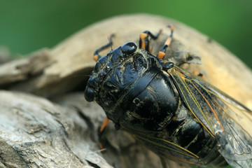 black cicada