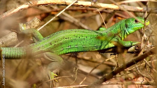 European Green Lizard, Ramarro