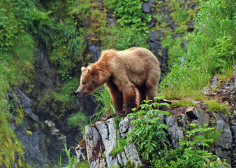 Grizzly Bear in the Wilderness
