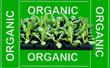 organic homegrown lettuce