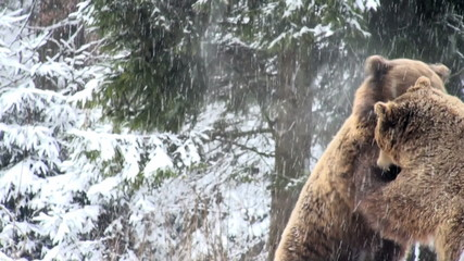 bears fighting in snow