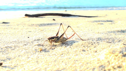 a seaside grasshopper