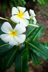 Close-up of a white-yellow frangipani flower