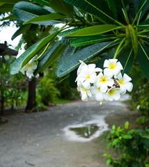 Close-up of a white-yellow frangipani flower