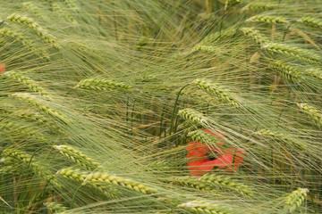 Klatsch-Mohn ( Papaver rhoeas ) versteckt im Korn