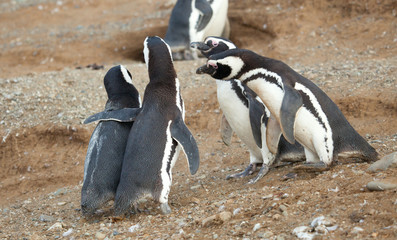 Meet the parents. Magellanic penguin with his girlfriend and par