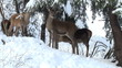 deer winter in forest