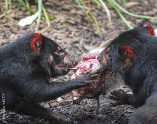 Tasmanian Devils Eating