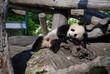 Young Panda