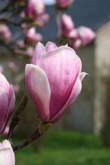 Magnolie in der Frühlingssonne