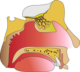 olfactory1