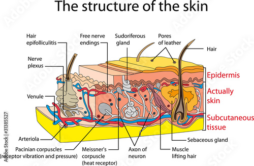 Skin cross section
