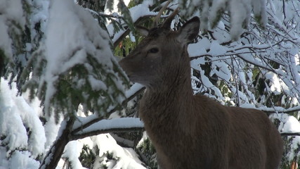 deer winter between trees