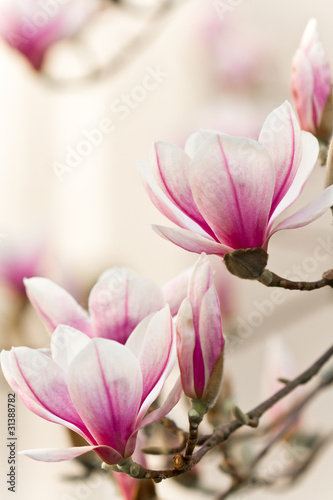 Fotobehang Magnolia Magnolie, Magnolia