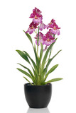 Fototapety Pink orchid in a pot