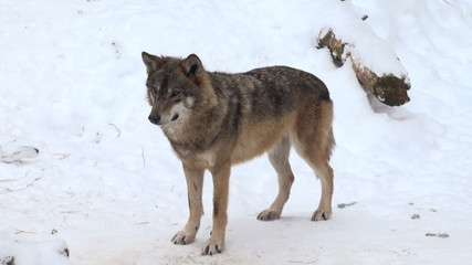 wolf in forest with snow
