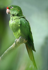 red fronted conure parrot, colombia, central america