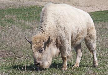 White American Bison