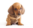 puppy red dachshund