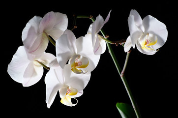 Blooming White Orchids on black background