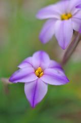 紫色のハナニラ