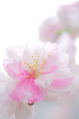 源平桃の花