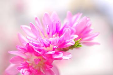 キクモモの花