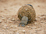 Dungbeetle rolling a ball of dung on the ground