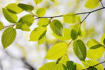 Grünes Blätter