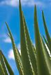 feuilles d'aloe vera sur fond de ciel bleu