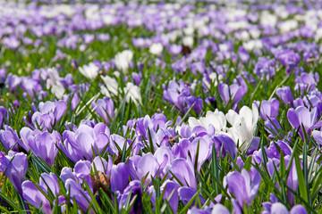 A lot of Dutch spring crocus flowers