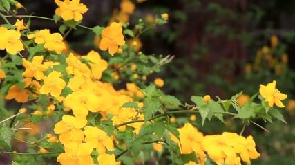 Japanese  globeflower