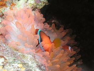 "Anemonenfisch ""Clown-Anemonenfisch"" Clownfish Nemo"
