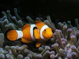 Fototapete Clownfisch - Meer - Fische