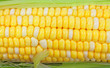 Close View of Corn Cob Kernels