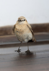 Isabelline wheatear bird standing on wood